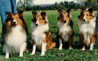 Picture from Carmylies Shelties