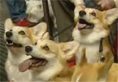 Cães da raça corgi, que participaram do filme ''A Rainha'', no tapete vermelho do Festival de Cinema