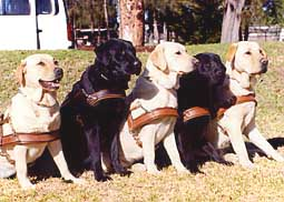dog_guidedogs.jpg (19945 bytes)