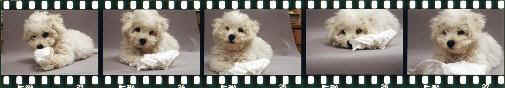 Imagem do site Bichon in Germany