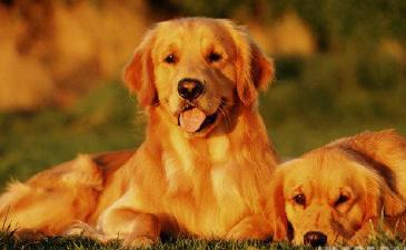 Cachorro golden retriever personalidade