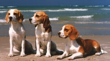 Imagem do site Beagles on the Web