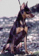 Imagem extraída do site Miniature Pinscher Club of America