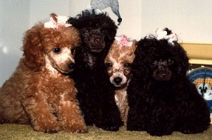 puppies-Velvet Touch.jpg (16774 bytes)