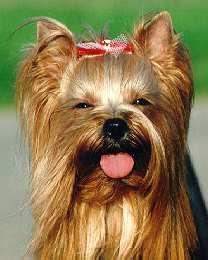 Imagem extraída do site Schweizerischer Yorkshire Terrier Club (Suíça)